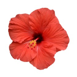 hibiscus rosa sinensis bloom in red