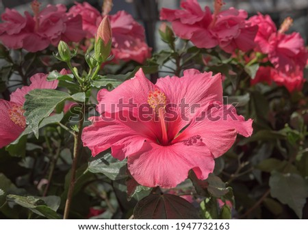 Hibiscus rosa-sinensis, Chinese hibiscus, China rose, Hawaiian hibiscus, rose mallow, shoeblack plant, a species of tropical hibiscus. Popular cultivated ornamental plant