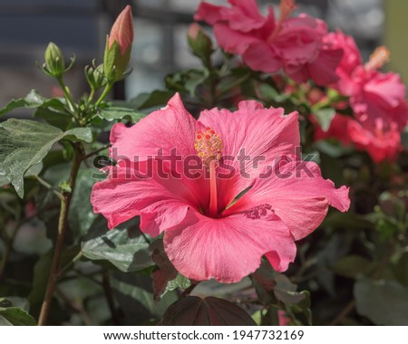 Hibiscus rosa-sinensis, Chinese hibiscus, China rose, Hawaiian hibiscus, rose mallow, shoeblack plant, a species of tropical hibiscus. Popular cultivated ornamental plant. Flowers for parks, gardens