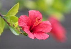 Hibiscus rosa-sinensis is a flowering plant konown as chinese hibiscus, china rose, hawaiian hibiscus, rose mallow, shoeblack plant.