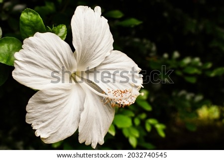 Hibiscus rosa-sinensis, known colloquially as Chinese hibiscus, China rose, Hawaiian hibiscus, rose mallow and shoeblackplant, is a species of tropical hibiscus, a flowering plant in the Hibisceae tri