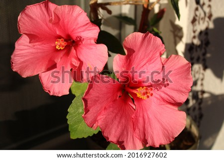 Hibiscus rosa sinensis, known colloquially as Chinese hibiscus, rose mallow and shoeblackplant, is a species of tropical hibiscus, a flowering plant in the Hibiscus tribe of the family Malvaceae.