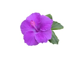Hibiscus rosa sinensis, Shoe Flower, Hibiscus, Chinese rose, Close up purple-blue hibiscus flowers and green leaf isolated on white background. with clipping path.