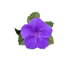 Hibiscus rosa sinensis, Shoe Flower, Hibiscus, Chinese rose, Top view blue-purple hibiscus flowers and green leaf isolated on white background.