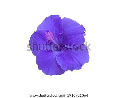 Hibiscus rosa sinensis, Shoe Flower, Hibiscus, Chinese rose, Top view blue-purple single hibiscus flowers isolated on white background.