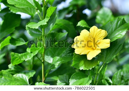 Shutterstock Hibiscus rosa sinensis (Snowflake Hibiscus, Shoe Flower, Chinese rose, Rosa mallow) ; An abundance on tree. yellow fully blooming with long pollen. standing at tip, beside long stem with green leaves.