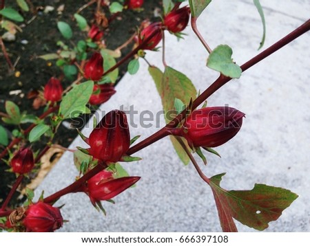Hibiscus sabdariffa L. is herb. Leaves and shoots used to cough. Calyx used to drive kidney stones. Seeds use elemental maintenance and diuretic. #666397108