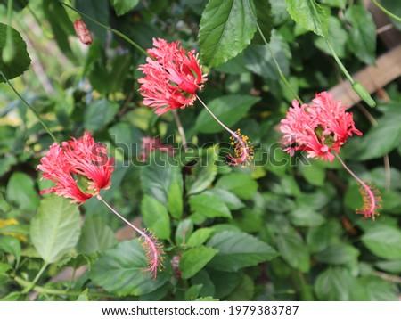 Hibiscus schizopetalus, Fringed Rosemallow, Japanese Lantern, Coral Hibiscus, Spider Hibiscus,Fringed Hibiscus, Coral Hibiscus