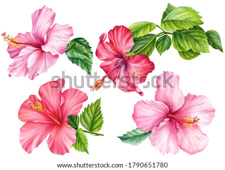 Hibiscus set, isolated white background, watercolor illustration, Pink flower