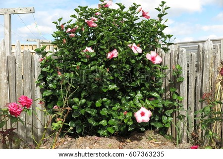 Hibiscus shrub with pink flowers in a rustic farm setting #607363235