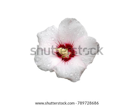 Hibiscus syriacus pale pink with deep red center rose of Sharon 'Red Heart' isolated on white.