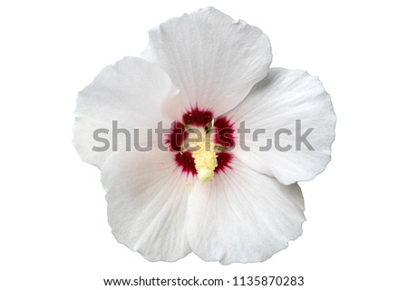 Hibiscus syriacus white with deep red center rose of Sharon 'Red Heart' flower isolated on white.