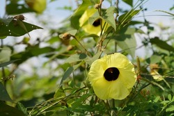 Hibiscus tiliaceus or beach hibiscus, coast cottonwood, native rosella, kurrajong, sea rosemallow, balibago ,Tagalog, malabago, malbago