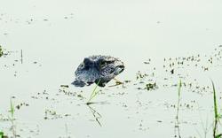 Hidden Alligator is in water