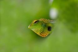 Hidden green head of a reptile trough blurred greenish nature, hidden green reptile hear and eyes in green background, hidden wildlife, green lizard in nature, hunter chameleon  with hide greennature