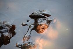 Hidden hippopotamus in the lake water