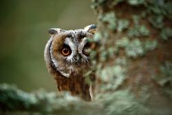 Hidden portrait of Long-eared Owl with big orange eyes behind larch tree trunk.