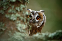 Hidden portrait of Long-eared Owl with big orange eyes behind larch tree trunk. Hide and seek with cute little owl.