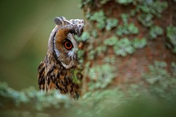 Hidden portrait of Long-eared Owl with big orange eyes behind larch tree trunk, wild animal in the nature habitat, Sweden.