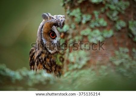 Stock Photo Hidden portrait of Long-eared Owl with big orange eyes behind larch tree trunk, wild animal in the nature habitat, Sweden.
