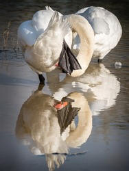 Hide and seek. Hiding does not always work, mute swan. Water reflection