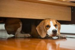 Hiding beagle