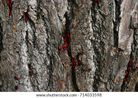 hiding in the bark of a tree insects black and red. Shallow depth of field on the picture, focus on beetles
