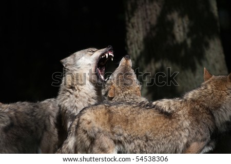 Hierarchic encounter between gray wolves (Canis lupus)