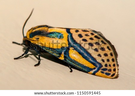 Hieroglyphic moth  photographed in Linhares, Espirito Santo, Southeast of Brazil. Atlantic Forest Biome. Picture made in 2013.