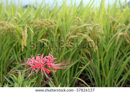 Higanbana (Japanese Spider Lily) with Rice Field at Harvest - stock photo