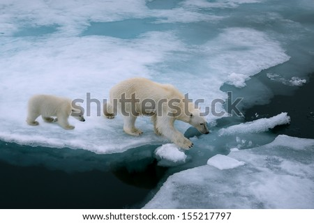 High Angle Of Mother Polar Bear And Cub Walking On Ice Floe In Arctic Ocean North Of Svalbard Norway