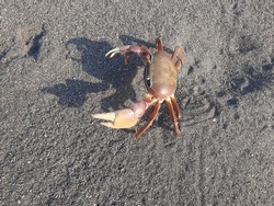 High angle view from a big brown pregnant crab on sand beach looking up at Depok, Parangtritis beach, Java, Indonesia