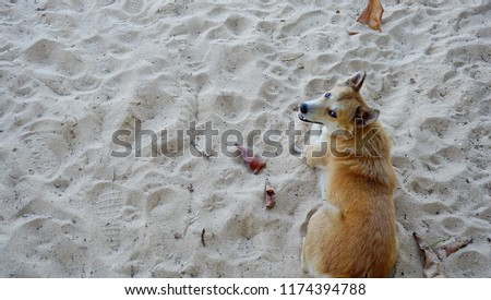 Stock Photo High angle view of a brown hair dog sitting on the beach and looking back to the camera.