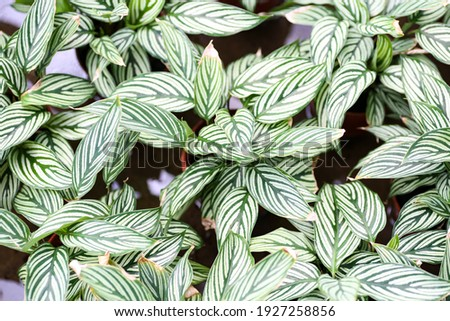 High angle view of a never never plant or Ctenanthe Oppenheimiana. Selective focus Zdjęcia stock ©