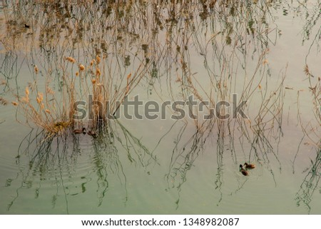 High angle view of a reed on the shore of Lake Garda with great crested grebe (Podiceps cristatus) among the swamp vegetation (Phragmites australis), Peschiera del Garda, Veneto, Italy