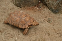 high angle view of African Spurred tortoise climb on sand beach