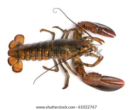 High angle view of American lobster, Homarus americanus, in front of white background