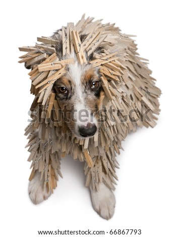 High angle view of Australian Shepherd puppy covered with Clothespins, 5 months old, sitting in front of white background