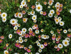 High angle view of tiny white and pink color daisy flowers, Photo of small pink daisy and white daisy, Beautiful tiny colorful flowers - Stock Photo