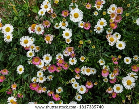 Photo of  High angle view of tiny white and pink color daisy flowers, Photo of small pink daisy and white daisy, Beautiful tiny colorful flowers - Stock Photo