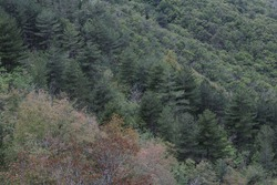 high angle view of trees in a forest on a slanting moutainside with one bare tree in the centre. Horizontal full frame background.