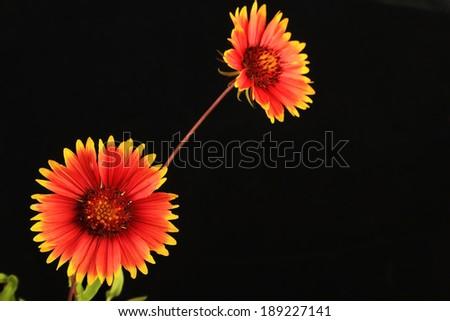 High contrast closeup of Two Indian Blanket (Gaillardia pulchella) Wildflowers against black background.