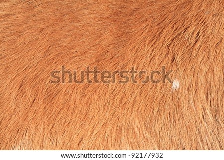 high detail of cow fur  in close-up shot.