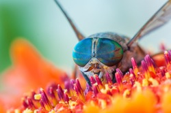 High detailed macro shot of colorful wild fly with amazing blue eyes on the beautiful flower