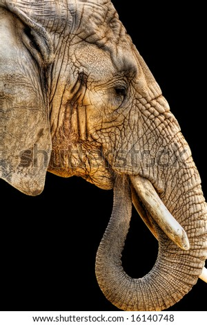 High Dynamic Range shot of the head of an African elephant isolated on a black background.