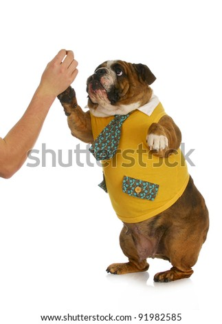 high five - hand of person giving high five to english bulldog standing