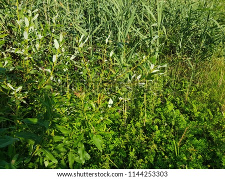 High grass in bright sunshine on a summer day in green meadow filled with light. Blooming reed (Phragmites). #1144253303