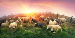High in the mountains shepherds graze cattle among the panorama of wild forests and fields of the Carpathians. After the rain is a beautiful mist at dawn. Sheep provide wool and milk, meat