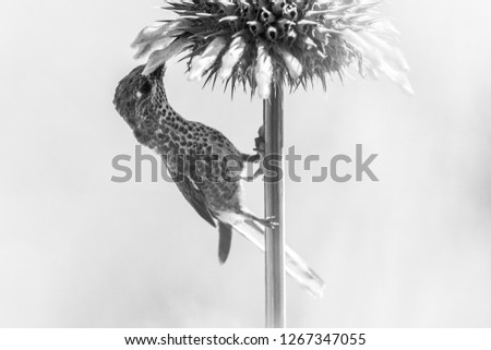High key Hummingbird  portrait, bird sitting on flower and sucking nectar from blossom, Peru, beautiful hummingbird sucking nectar from blossom, wildlife scenery from nature