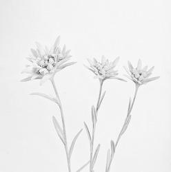 High key monochrome image of three edelweiss flowers.